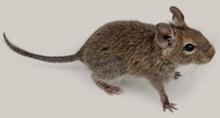 Mouse Image from Stock Photography